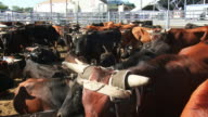 Cows and livestock in pens prior to a rodeo