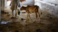 Cows are worshipped as a mother figure by Hindus who make up more than 900 million of India's 13 billion population and some consider the animals as...