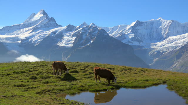 Cows at Grindelwald-First, Schreckhorn and Fiescherhorn, Bernese Alps, Switzerland, Europe
