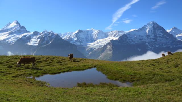 Cows at Grindelwald-First, Schreckhorn, Fiescherhorn, Eiger and Jungfrau, Bernese Alps, Switzerland, Europe