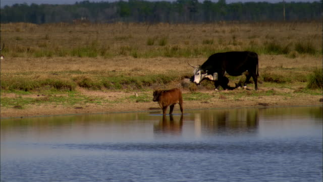 MS, ZO, WS, Cows at pond, Sebring, Florida, USA