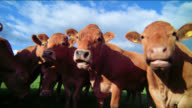 Cows chew their cuds as they look straight ahead.