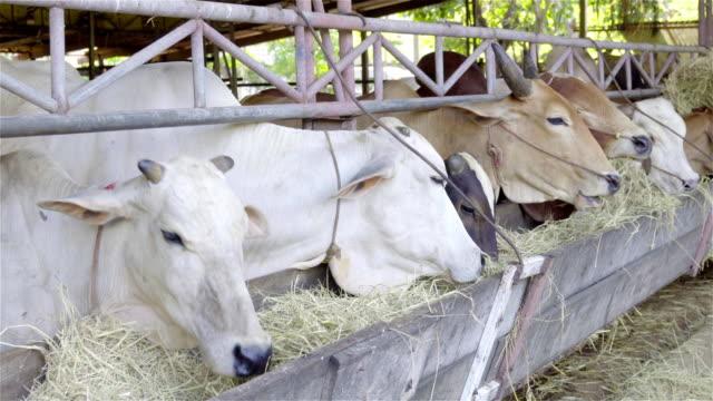 4K: Cows feeding cow is eating hay.