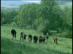Cows follow farmer through field, Devon