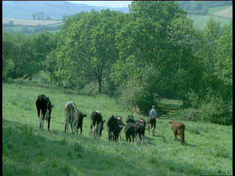 Cows follow farmer through field, Devon