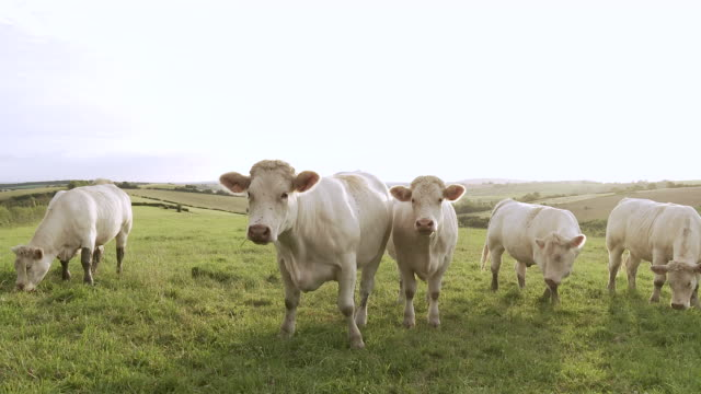 MS Cows grazing and staring curiously / Beaune, Burgundy, France