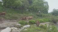 Cows Grazing Grass