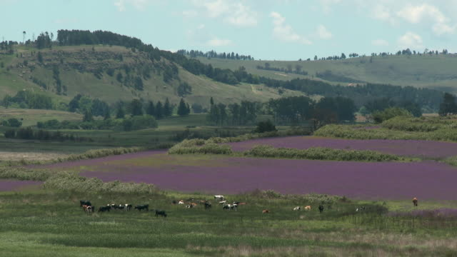 WS Cows grazing in mauve coloured pastures / Pietermaritzburg, Kwa Zulu Natal, South Africa