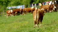 HD: Cows Grazing