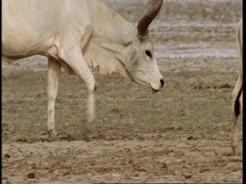 CU Cow's head as walks off, Gujarat, India