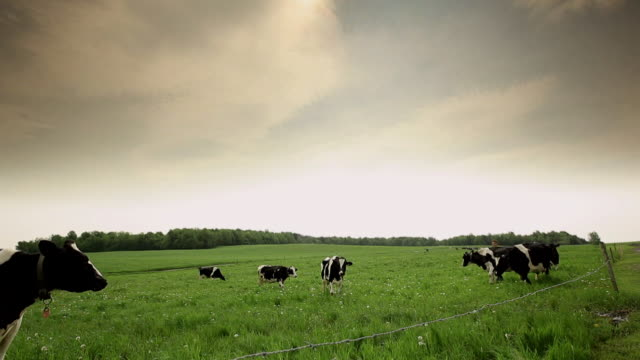 Cows in a field eats grass
