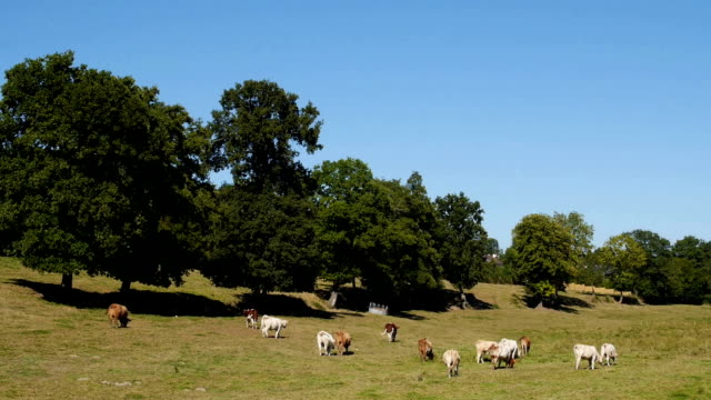 Cows in a field, Normandy, France
