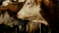 Cows in farm barn eating hay