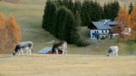 Cows in the South Tyrol region, Alpe di Siusi (Seiser Alm) in Dolomites, Italy.