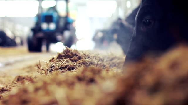 Kühe auf moderne dairy farm Essen silage