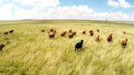 Cows running in a field in the Freeatate in South Africa