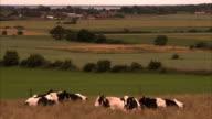 Cows Sweden.