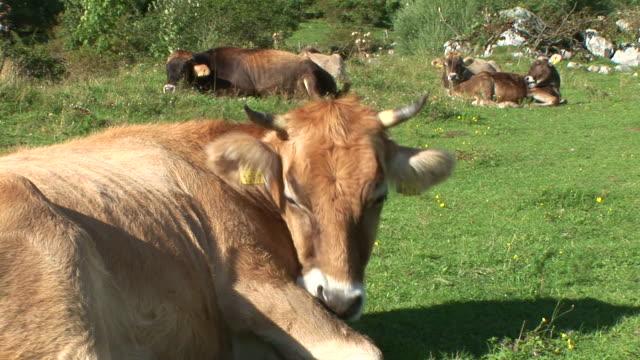 HD: Le mucche