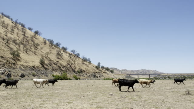 Cows walk across plain in California