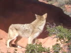 MS Coyote howling / USA