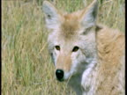 Coyote looks around then walks away, South Dakota