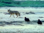 Coyote on beach w/ buzzards CU Seagulls picking whale carcass