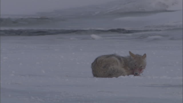 Coyote (Canis latrans) rubs its bloodied face into snow, Yellowstone, Wyoming, USA