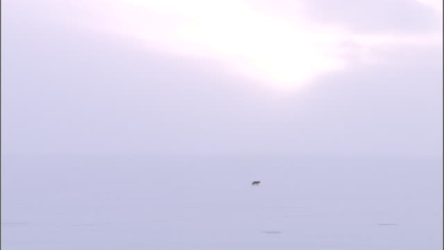 Coyote (Canis latrans) trots across snowy landscape, Yellowstone, USA