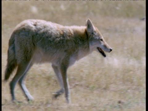 Coyote walks past alarmed prairie dog, South Dakota