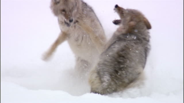 Coyotes (Canis latrans) fight in snow, Yellowstone, USA