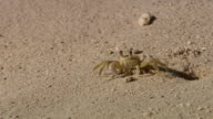 MS Crab on the sand beach / Brightown, Barbados