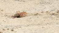 Crab working; Crab dig burrow on tropics beach