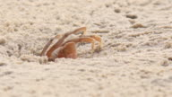 Crab working; Crab dig burrow on tropics beach