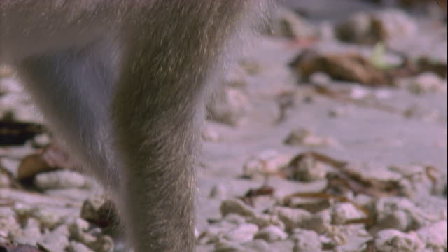 A crab-eating macaque forages on a beach. Available in HD.