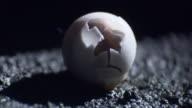 Cracked egg of Hawaiian Mourning gecko.
