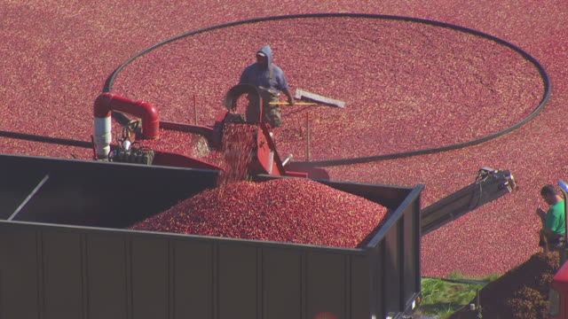 WS AERIAL POV Cranberries loaded into truck/ Carver, Plymouth County, Massachusetts, United States