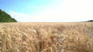 crane 4k move wheat field