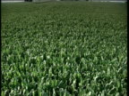 Crane down field of lush and green genetically modified maize crops