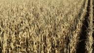 Crane Shot Fall Cornfield to Harvesting and Horizon