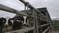 Crane shot moving downwards to a low-angle shot of dairy cattle behind a fence, UK.