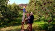 WS crane shot senior woman picking apples on ladder with senior man holding basket below her / Congers, New York
