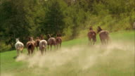 Crane shot tracking shot pack of horses running in field