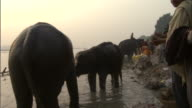 Crane up from elephants being bathed in river, Sonepur Mela Available in HD.