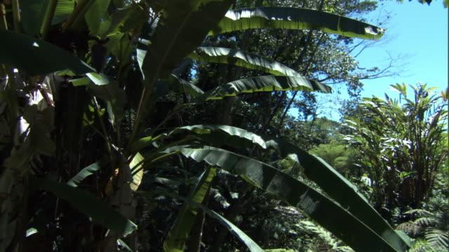 Crane up over banana plants (Musa sp), Hawaii
