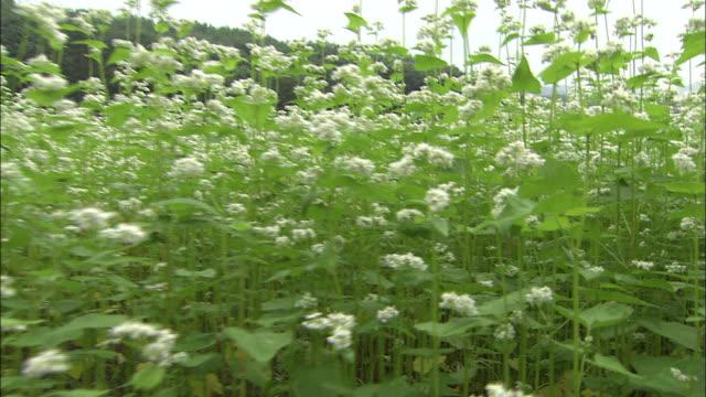 Crane up over field of buckwheat flowers, Japan