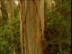 Crane up over massively tall mountain ash gum tree, Kinglake, Victoria, Australia