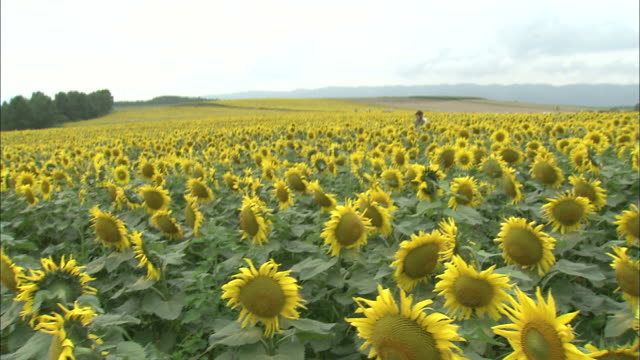 Crane up over two people passing through field of sunflowers