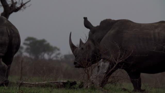 Crash of rhinos walking/ South Africa
