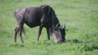 NGORONGORO Crater Wildebeest Grazing