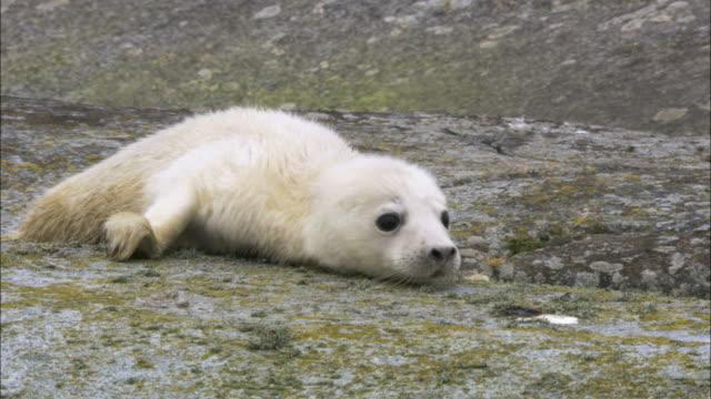 MS Crawling grey seal cub / Sweden